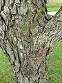 P1000549 Cratageus mollis (Downy Hawthorn) (Rosaceae) Bark.JPG