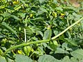 P1050854-Physalis-philadephica.JPG