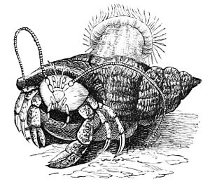 PSM V05 D208 Hermit crab and actinea.jpg