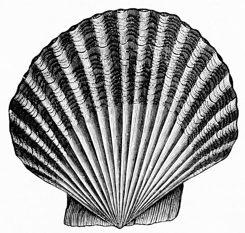PSM V49 D563 Scallop shell