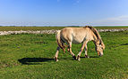 Paarden zorgen voor begrazing. Locatie, Noarderleech Provincie Friesland 01.jpg