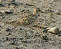 Pacific Golden Plover (Pluvialis fulva) - Flickr - Lip Kee (4).jpg