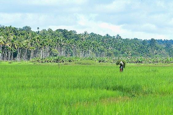 Paddy field in Wayanad 4.jpg