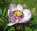 Paeonia clusii-Σελάκανο.jpg