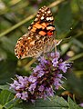 Painted Lady Vanessa cardui Side 1207px.jpg