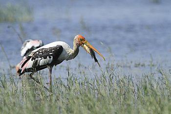 Painted Stork feast.jpg