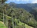 Palma de cera del Quindío (Ceroxylon quindiuense) - Flickr - Alejandro Bayer (2).jpg