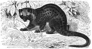 Viverridae - Asian palm civet