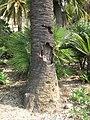 Palmtree struck by shells (Maria Serena) close-up.jpg