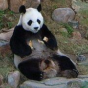 Panda-AnAn.jpg