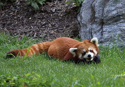Panda roux au Zoo de Granby.JPG