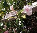Pandorea jasminoides - πανδωρέα.jpg