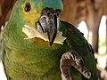 Papagaio comendo mandioca.jpg