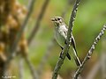 Papamosca cerrojillo. (Ficedula hypoleuca)(♀) (6182213608).jpg
