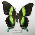 Papilio blumei male.JPG