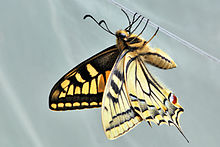 Papilio machaon 03 04102009.jpg