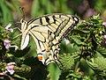 Papilio machaon DVRZ3.jpg