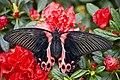 Papilio rumanzovia4.jpg