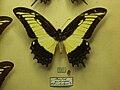Papilioandrogeosmale.jpg