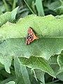 Papillon Pyrausta purpuralis observé à Saint-Maurice-de-Beynost dans l'Ain en juillet 2019 (3).jpg