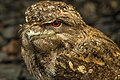 Papuan Frogmouth at Cairns-02 (23473731082).jpg