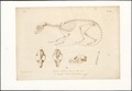 Paradoxurus trivirgatus - skelet - 1700-1880 - Print - Iconographia Zoologica - Special Collections University of Amsterdam - UBA01 IZAA100063.tif