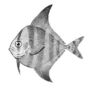 Black pomfret - Image: Parastromateus niger