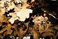 Parmotrema cetratum-2.jpg