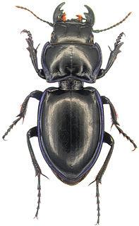 <i>Pasimachus</i> Genus of beetles