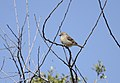 Passer domesticus - House sparrow - Serçe 10.jpg