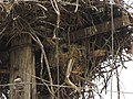 Passer hispaniolensis nest.jpg