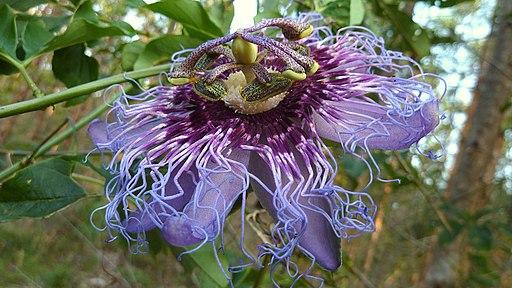 Passiflora cincinnata Mast. (5081487412)