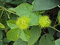Passiflora foetida 06.JPG