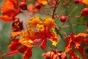 Peacock Flower, flamboyan-de-jardin (Caesalpinia pulcherrima).jpg
