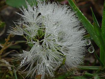 Pearl-flower.jpg