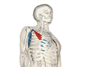 Pectoralis minor muscle - Pectoralis minor muscle (shown in red). The bone shown in blue is the shoulder blade.