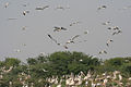 Pelican, Storks & Egrets about to land at Uppalapadu, AP W IMG 5146.jpg
