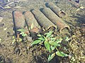 Persicaria amphibia sl14.jpg