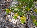 Persoonia isophylla 1.jpg