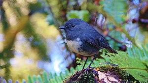 South Island robin - South Island robin, Southland District
