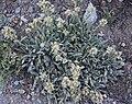 Phacelia hastata large plant.jpg