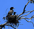 Phalacrocorax auritus parent and chick.jpg