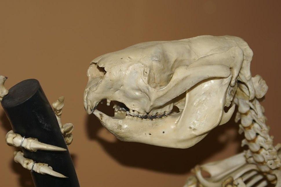 Phascolarctos cinereus 3zz