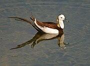 Pheasant-tailed Jacana (Hydrophasianus chirurgus) in Hyderabad W IMG 8376.jpg
