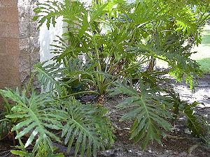 Baum-Philodendron (Philodendron bipinnatifidum)
