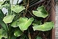 Philodendron rugosum 1zz.jpg