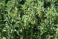 Phlomis fruticosa in Dunedin Botanic Garden.jpg