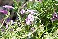 Phlox subulata Crimson Beauty 3zz.jpg