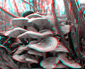 Pholiota conissans7.jpg
