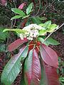 Photinia serratifolia1.jpg